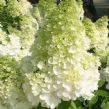 Hydrangea paniculata MAGICAL MOONLIGHT 'Kolmagimo' (PBR)